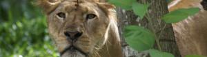 tiger zoo (slide)
